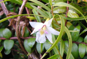 Sails Ashore, Stewart Island Orchids