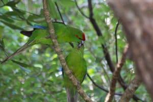 Red Crowned Parakeet, Sails Tours, Stewart Island