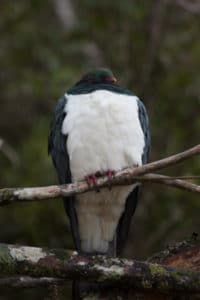 Pigeon-62