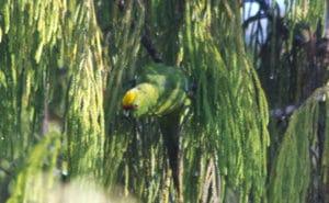 Yellow Crowned Parakeet, Sails Tours, Stewart Island