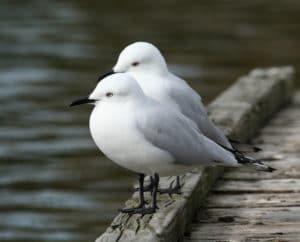 Black Billed Gull, Sails Tours Stewart Island