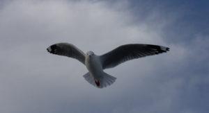 Red Billed Gull, Sails Tours, Stewart Island