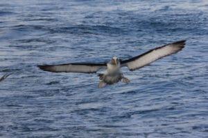 Bullers Mollymawk, Sails Tours, Stewart Island