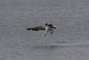 Black Backed Gull, Sails Tours, Ulva Island