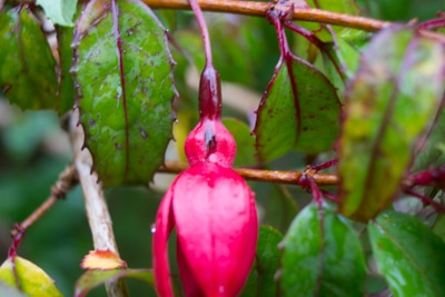 Fuschia and Bumble Bees, Sails Tours, Stewart Island