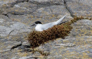 White Fronted Tern Sails Tours, Stewart Island