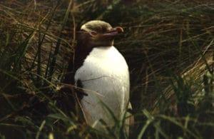 Yellow Eyed Penguin, Sails Tours, Stewart Island
