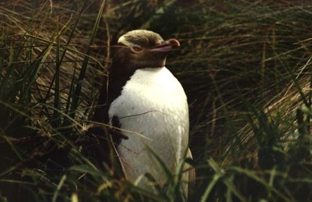 Yellow Eyed Penguin, Sails Tours, Stewart Island