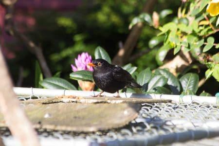 Sails Ashore resident Blackbird
