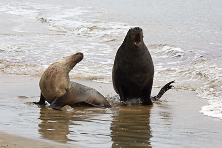 Hookers Sealion Pair, Sails Stewart Island Tours