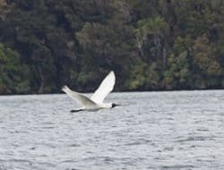 Royal Spoonbill in Paterson Inlet