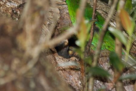 Parakeet nestlings, Sails Stewart Island Tours