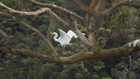 White Heron, Paterson Inlet, Sails Tours