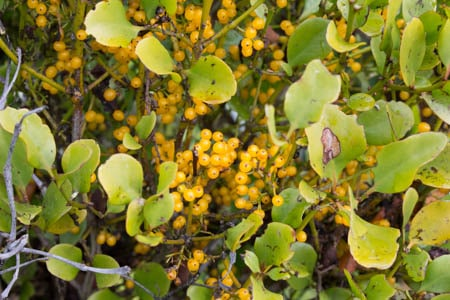 Mistletoe fruit, Sails Tours