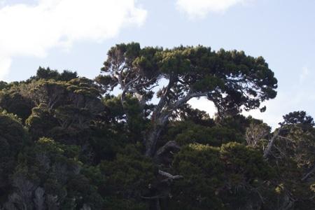 Rimu Tree, Ulva Island