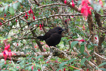 Saddleback Juvenile on Ulva Island