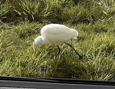 Cattle Egret at Horesho