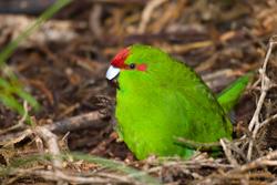 Bird Populations and Mast years